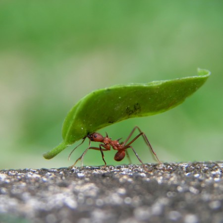 Leaf Cuuter Ant